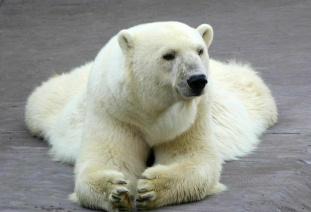 polar_bear-白熊.JPG